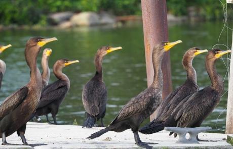 Harbour HOA Sandusky Ohio Birds on Dock